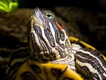 Frischwasserschildkrötekopf Lizenzfreie Stockfotografie