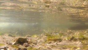 Frischwasserstrom und zwei Bachforellen stock video footage