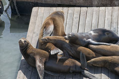 Frisco Harbor seals relaxing on pier Royalty Free Stock Photography
