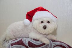 Frise bonito do bichon no chapéu de Papai Noel Foto de Stock Royalty Free