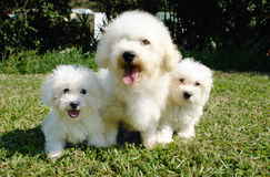 Frise de Bichon Photo stock