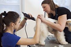 Friseur mäht Foxterrierpelz auf der Rückseite lizenzfreies stockfoto