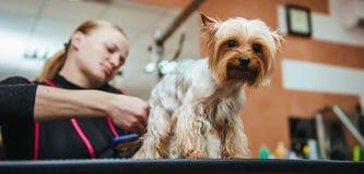 Friseur mäht Pelz Yorkshires Terrier auf dem Ohr mit einem Trimmer lizenzfreies stockbild