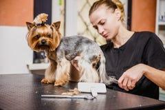 Friseur mäht Pelz Yorkshires Terrier auf dem Ohr mit einem Trimmer lizenzfreie stockbilder