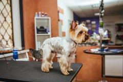 Friseur mäht Pelz Yorkshires Terrier auf dem Ohr mit einem Trimmer stockbild