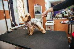 Friseur mäht Pelz Yorkshires Terrier auf dem Ohr mit einem Trimmer stockfoto
