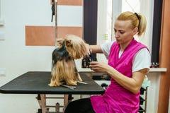 Friseur mäht Pelz Yorkshires Terrier auf dem Ohr mit einem Trimmer lizenzfreies stockfoto