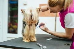Friseur mäht Pelz Yorkshires Terrier auf dem Ohr mit einem Trimmer lizenzfreie stockfotos