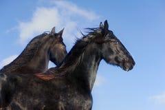 frisian άλογα Στοκ εικόνα με δικαίωμα ελεύθερης χρήσης