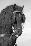 frisian επικεφαλής άλογο Στοκ Εικόνες