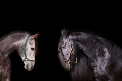 Frisian and arab stallions. Indoors Stock Photo