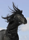 Frisian black horse portrait. On sky background Stock Photography