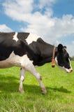 Frisian cow Royalty Free Stock Image