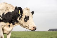 Frisian cow with ear tags Royalty Free Stock Photo