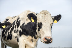 Frisian cow with ear tags Royalty Free Stock Photography