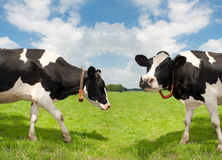 Frisian cows. Two frisian cows in a dutch meadow Stock Photo