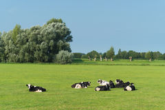 Frisian cows in meadow. Grazing frisian-holstein cows in a dutch meadow Royalty Free Stock Photos