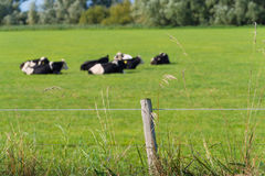 Frisian cows in meadow. Grazing frisian-holstein cows in a dutch meadow Stock Image