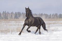 frisian czarny koń Obraz Royalty Free