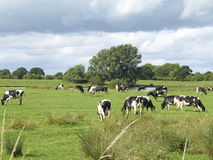 Frisian dairy cows. In farmland Cheshire UK Royalty Free Stock Photography