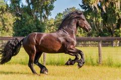 Frisian-/Friesianhäst som galopperar i fäktat fält royaltyfri fotografi