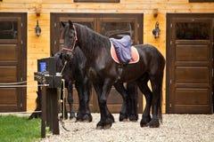 Frisian horse Stock Photo