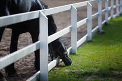 Frisian Horse Grazing Stock Photography