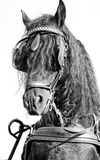 Frisian horse monochrome Royalty Free Stock Images