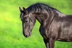 Frisian horse portrait stock images
