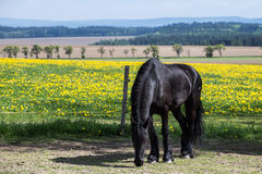Frisian horse at spring meadow. With dandelion flowers Royalty Free Stock Photo