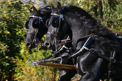 Frisian horses Royalty Free Stock Images