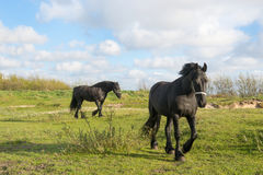 Frisian horses. In Dutch Friesland Royalty Free Stock Photo