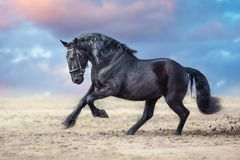 Frisian horses run. Beautiful frisian stallion run in sand against dramatic sky stock image
