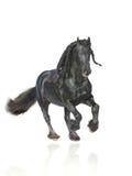 Frisian Stallion getrennt Lizenzfreie Stockfotografie