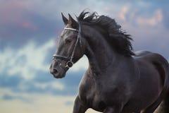 Frisian stallion portrait. Frisian stallion with long beautiful mane run against sunset dark sky royalty free stock photos