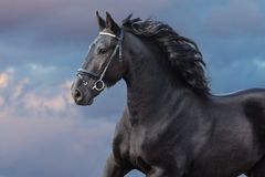 Frisian stallion portrait in motion. Frisian stallion with long beautiful mane run against sunset dark sky stock photos