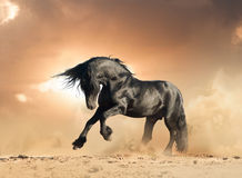Frisian stallion in the wild Royalty Free Stock Image