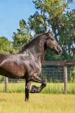 Frisianpferd, das auf einem eingezäunten Gebiet trottet Lizenzfreie Stockfotos