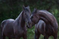 Frisianpferdeporträt lizenzfreie stockfotos