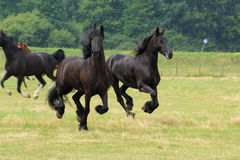 Frisians Running tão elegantes Foto de Stock Royalty Free