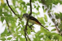 Friskhet och frihet för fjäder för scharlakansröd fågel för minivet härlig färgrik arkivfoto