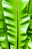 Friskhet och stora sidor av Bird& x27; s-redeormbunke Royaltyfri Foto