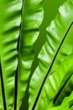 Friskhet och stora sidor av Bird& x27; s-redeormbunke Fotografering för Bildbyråer