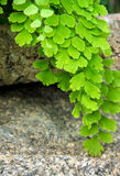 FriskhetAdiantum, svart bladstjälkormbunke Arkivbilder