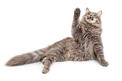 Frisky Cat Playing and Looking Up Stock Images