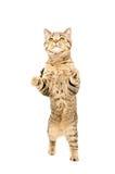 Frisky cat Scottish Straight Royalty Free Stock Photo