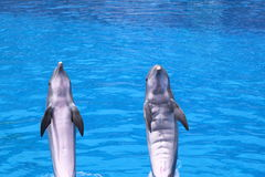 Frisky Dolphins. Pair of dolphins dancing in light-blue water. Palmitos Park, Gran Canaria Royalty Free Stock Photos