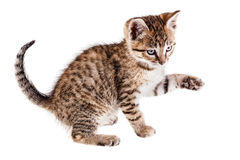 Frisky kitten Stock Image