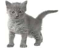 Frisky small kitten  Stock Image
