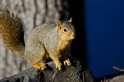Frisky Squirrel Resting on a Rock Royalty Free Stock Images